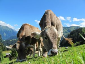 Cows in the pasture, beautiful background of mountains